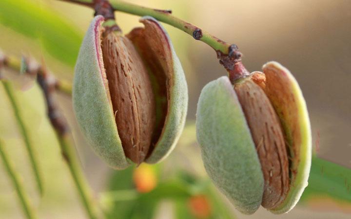 چه خوراکیهایی را نباید بهصورت خام یا نارس بخوریم - بادام