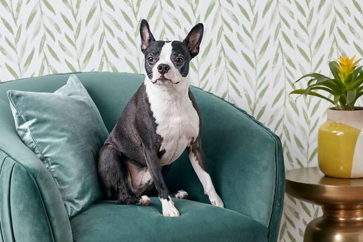 بوستون تریر یکی از بهترین سگ های آپارتمانی