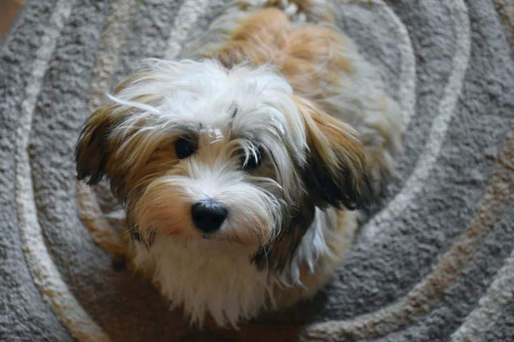 هاوانیز یکی از بهترین سگ های آپارتمانی