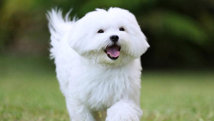 مالتیز یکی از بهترین سگ های آپارتمانی