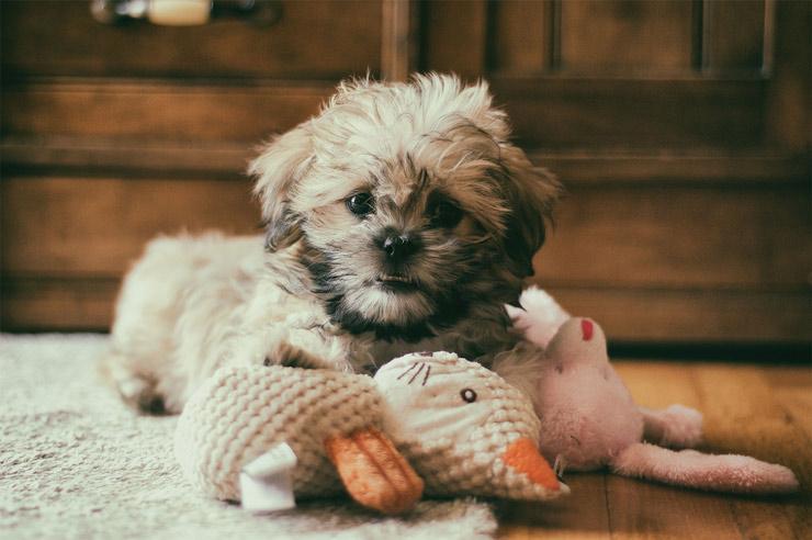 بهترین سگهای آپارتمانی برای کسانی که خانههای کوچک اما قلبهای بزرگی دارند