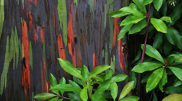 اوکالیپتوس رنگینکمان - عجیبترین جاذبههای طبیعی دنیا