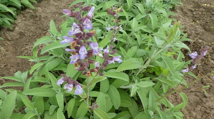 مریمگلی در باغچه حشرات را از دیگر گیاهان دور میکند