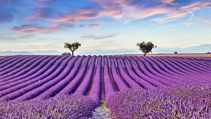 The purple fields of Provence are one of the sights of France