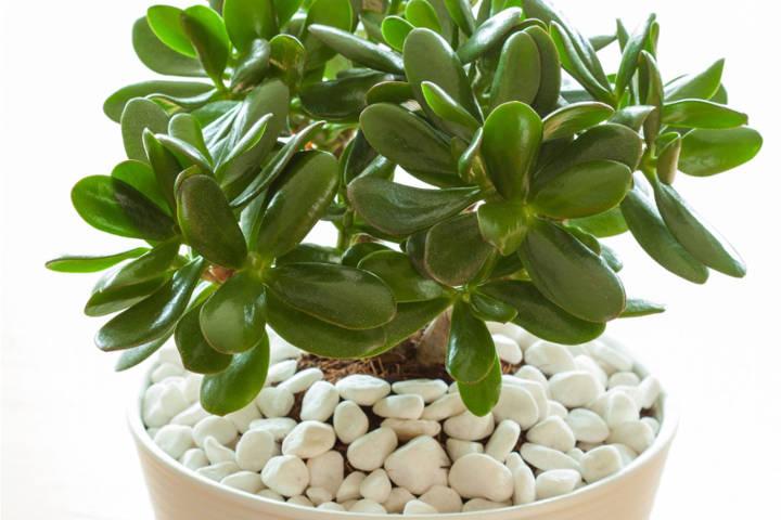 کرسولا یکی از انواع درختچه های آپارتمانی زینتی
