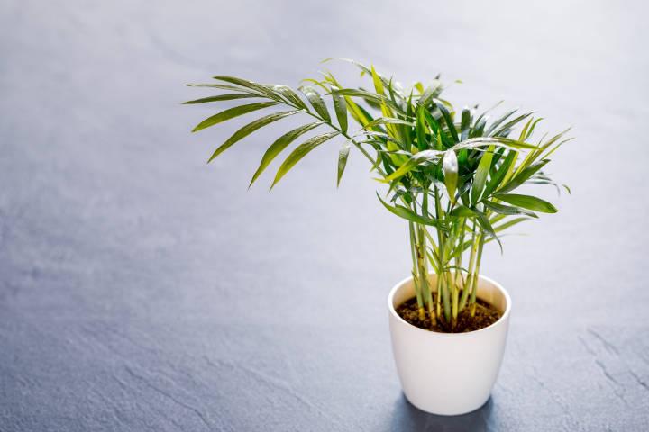 درختچه نخل بامبو یکی از درختچه های زینتی آپارتمانی