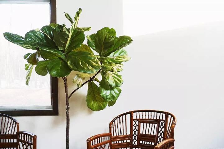 انجیر زینتی برگ ویلونی از انواع درختچه های آپارتمانی