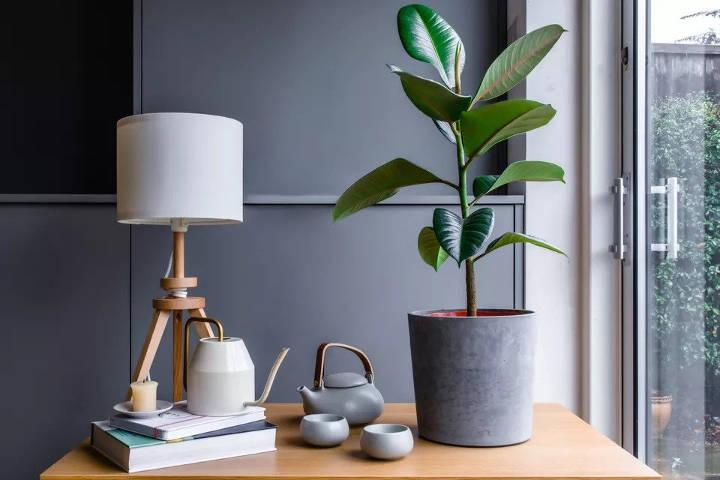 فیکوس الاستیکا از انواع درختچه های آپارتمانی زینتی
