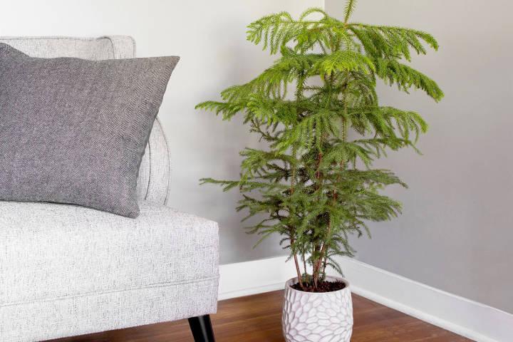کاج مطبق از درختچه های آپارتمانی و زینتی