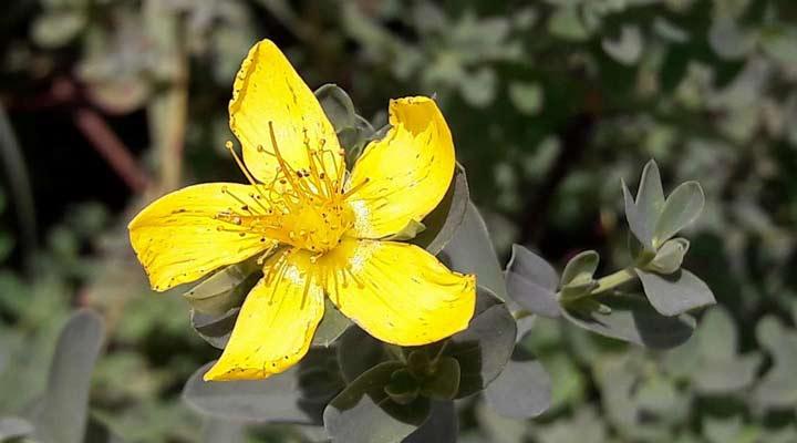 خواص گل راعی - اجزای فعال گل راعی به بهبود افسردگی کمک می کنند.