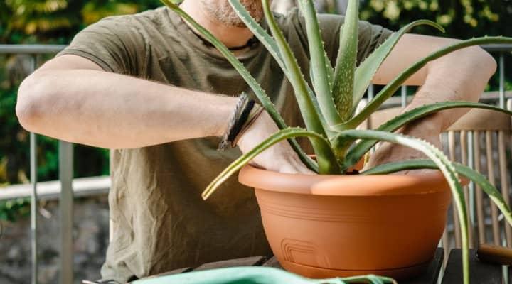 نگهداری از گیاه آلوئه ورا