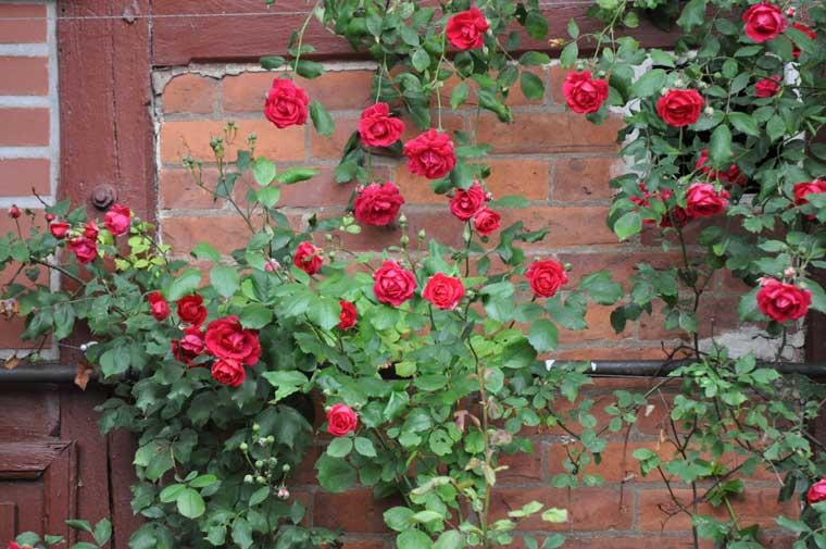 گل رونده رز رونده هلندی - انواع گل رونده