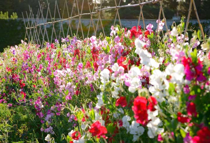 گل رونده ـ گل نخود - انواع گل رونده