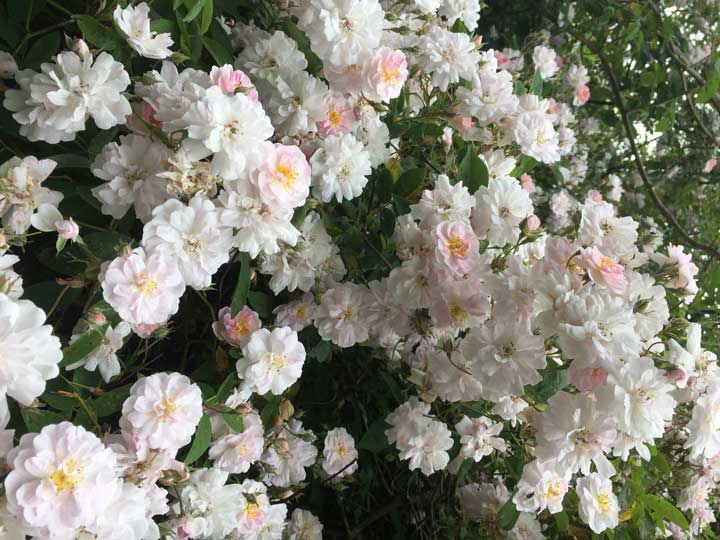 گل رونده رز هیمالیا - انواع گل رونده