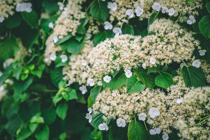 گل رونده ـ گل ادریسی با گلبرگ های سفید - انواع گل رونده