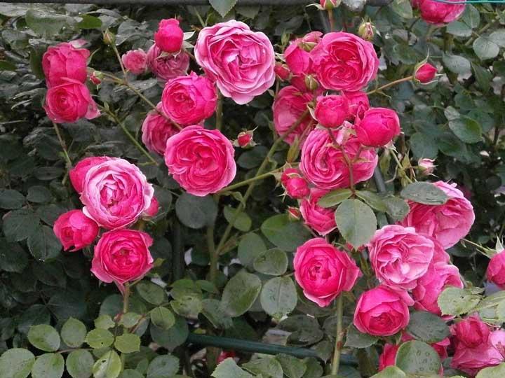 گل رونده گل ساناز - انواع گل رونده