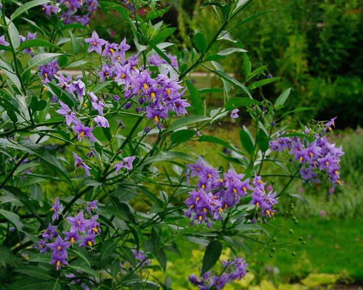 گل رونده تاک سیب زمینی - انواع گل رونده