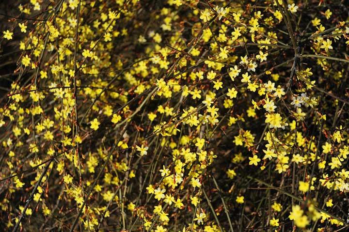 گل رونده یاسمن زمستانی - انواع گل رونده