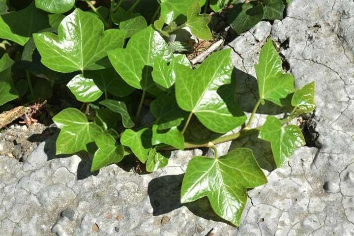 گل رونده پاپیتال - انواع گل رونده