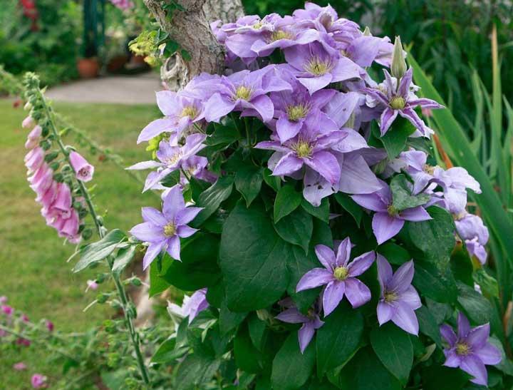 گل رونده کلماتیس - انواع گل رونده