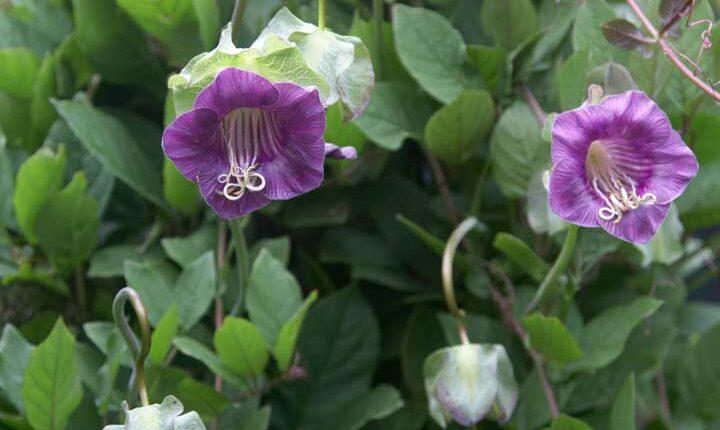 گل رونده فنجان نعلبکی - انواع گل رونده