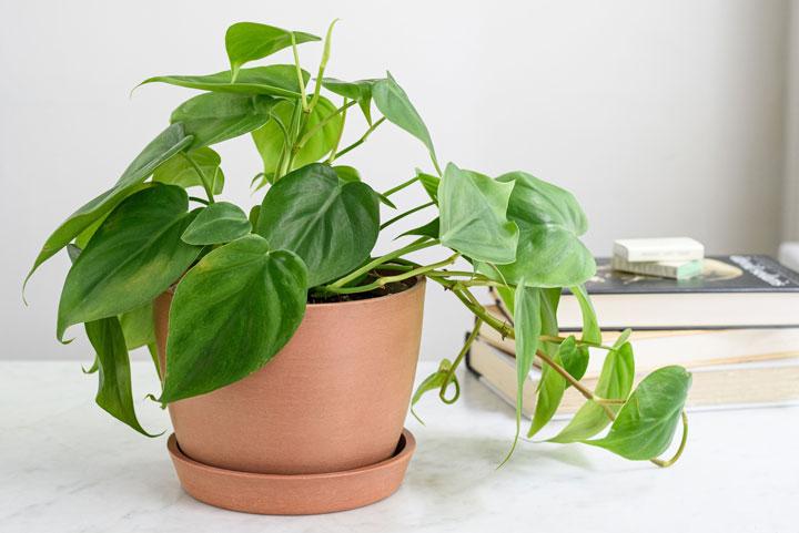 گل رونده آپارتمانی فیلودندرون - انواع گل رونده