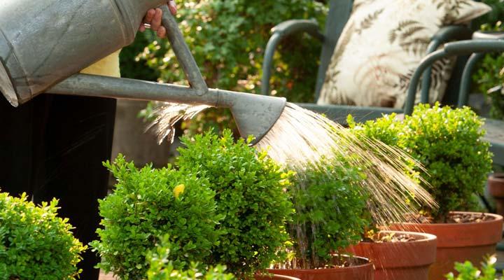 آفتاب سوختگی گیاهان - آبیاری گیاهان آفتاب سوخته