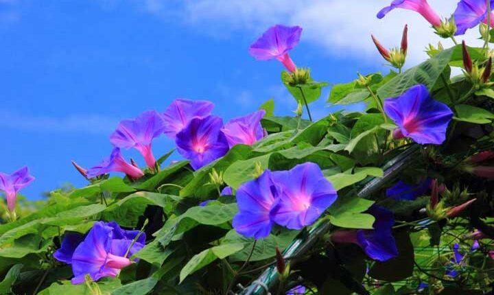گل رونده پیچک نیلوفر - انواع گل رونده