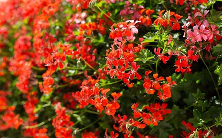 گل رونده شمعدانی - انواع گل رونده