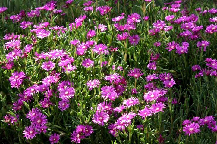 گل رونده ـ گل ناز - انواع گل رونده