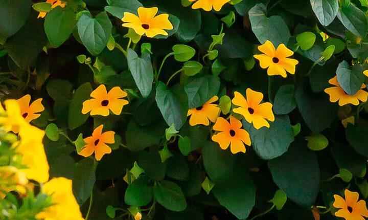 گل رونده سوسن سیاه چشم - انواع گل رونده