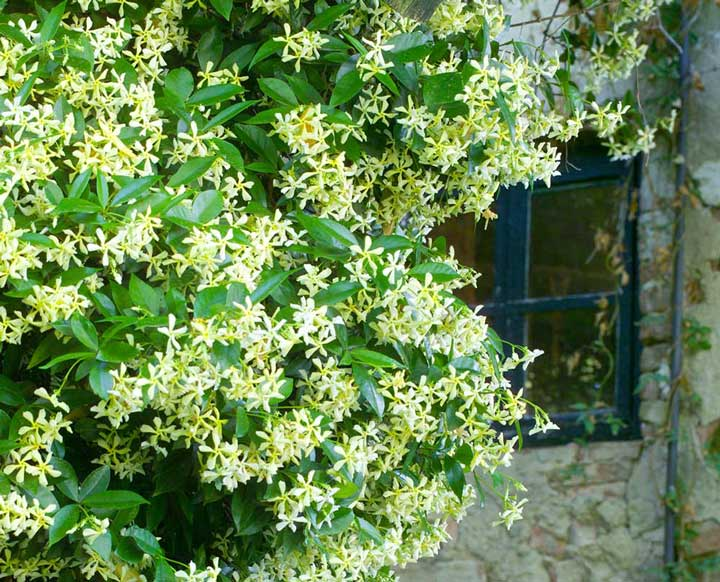 گل رونده یاسمن ستاره ای - انواع گل رونده